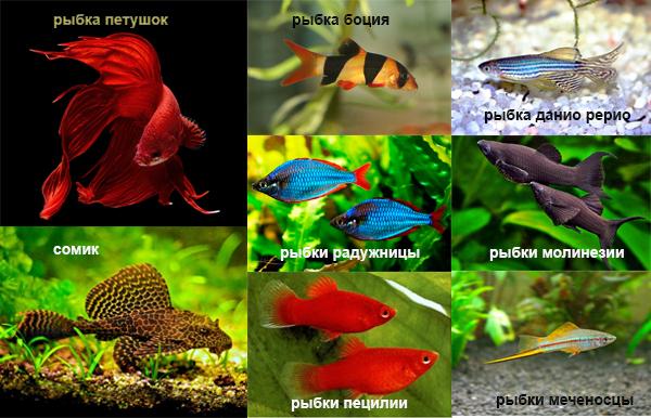 рыбки которые уживаются с гуппи фото